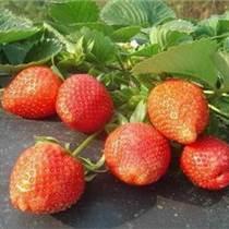 出售四季草莓苗黑龙江种植四季草莓苗