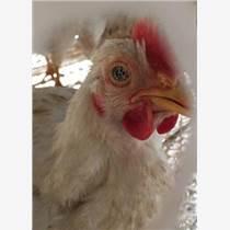 雞嗓子呼嚕呼嚕喂啥藥,雞打呼嚕怎么治