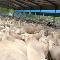 梁山縣低價出售湖羊澳洲羊杜泊羊種羊