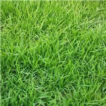 江西优质高羊茅籽子四季常青矮生细叶草坪不修剪柔软性绿
