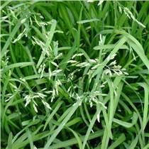 江西南昌优质早熟禾草籽子四季常青矮生细叶草坪不修剪柔