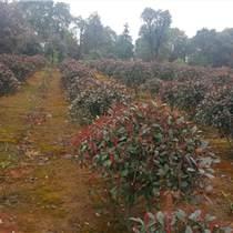 紅葉石楠苗圃紅葉石楠生產基地紅葉石楠報價