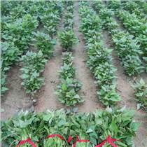 新疆紅薯苗基地紅薯苗價格