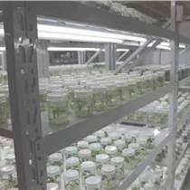 貴州紅薯苗價格高淀粉紅薯苗