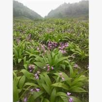 貴州華科金農御貴草白芨種植,一個非常有發展潛力的項目