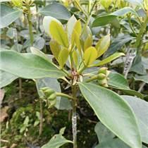 八角營養缽苗木 嫁接八角苗 大茴香樹苗