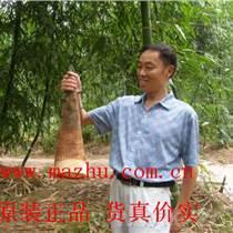 桂筍甜竹苗