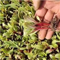 甜菜苗種子 甜菜芽種籽 紅梗菜苗擺盤 盤飾蔬菜種子