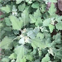 灰灰菜種子 花葉灰灰 野菜種子