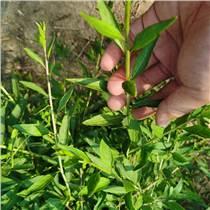 枸杞芽菜種子 紅枸杞苗 黑枸杞菜 四季均可種植蔬菜種