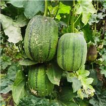 蘋果絲瓜種子 圓形肉厚 抗病強 多結果 陸地大棚均可