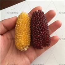 草莓玉米種子 黃色彩色玉米籽 觀賞產品