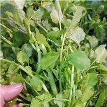 豆瓣菜種子 西洋菜種子豆瓣菜栽培 豆瓣菜價格 豆瓣菜