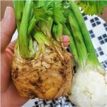 根芹種子 球莖芹菜種子 特菜種子