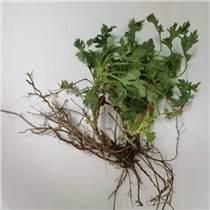 菊花腦種子 菊花葉籽 菊花澇菊 花菜蔬菜種子多年生多