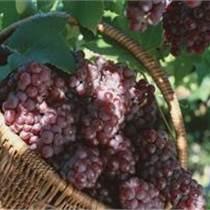陜西大荔紅提葡萄上市