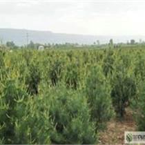 陜西 白皮松油松價格 苗農在線