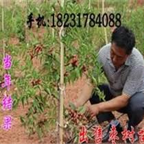 出售扁核酸棗樹苗(河南鄭州)