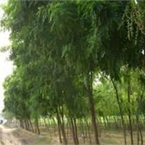 河北 刺槐價格 苗農在線