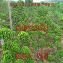 造型黃楊批發、小葉黃楊樹盆景