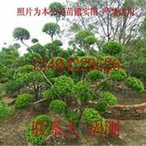 造型黄杨价格、小叶黄杨盆景价格