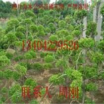 造型瓜子黄杨树批发价格