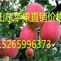 供應山東紅星蘋果大量上市