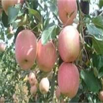 陜西大荔優質膜袋紅富士蘋果價格