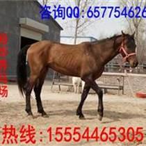 乘騎馬品種與良種馬價格