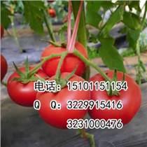 荷蘭番茄種子;早春番茄種子