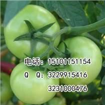 早春进口番茄种子;番茄种子价格