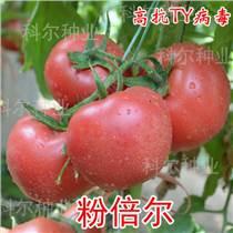 粉倍爾西紅柿種子 歐盾番茄種子