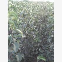 占地蘋果樹山楂樹桃樹價格