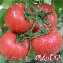 越冬西紅柿種子 歐盾番茄種子