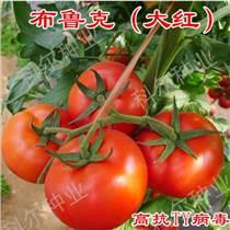 大紅西紅柿種子 思貝德番茄種子
