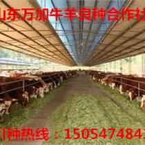 品种:鲁西黄牛