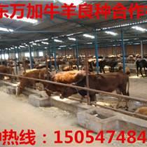 邵陽肉牛的飼養