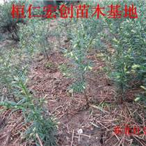东北红豆杉盆景、东北红豆杉种苗