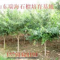 石榴樹苗批發-品種苗培育基地