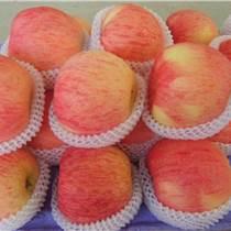 山東紅富士蘋果基地