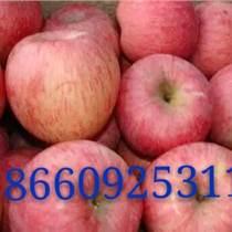 山東蘋果供應基地大降價