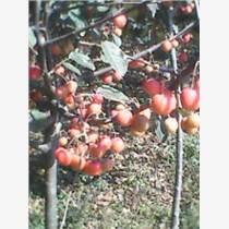 供應東紅海棠苗