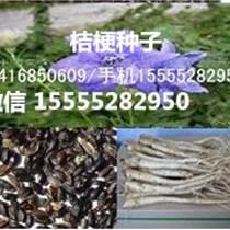 桔梗種子桔梗籽/一畝地用多少斤