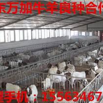 賣波爾山羊