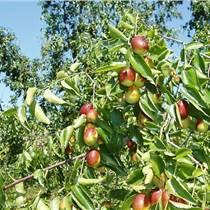 山西供应枣树苗、嫁接枣树苗品种
