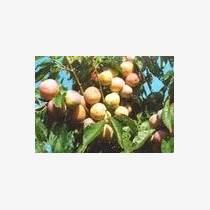 供1-10公分占地核桃樹蘋果樹桃樹