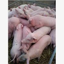 山东三元仔猪养殖基地供应优良仔猪