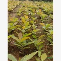 純正宗日本厚樸批發零售另有喬木紫杉樹苗又稱歐洲紅爍