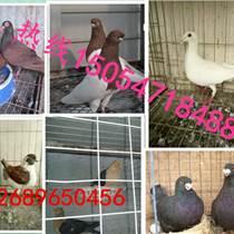 种鸽多少钱?#27426;?鸽子蛋哪里有收的 种鸽养殖场