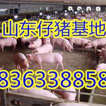山东仔猪基地优质三元仔猪供应